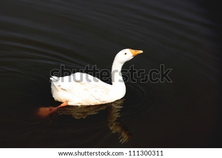 White goose floating in the pond