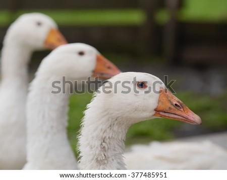 white goose outdoors - stock photo