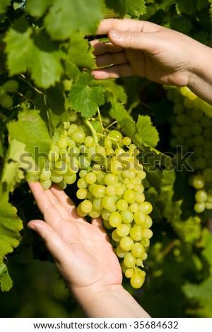 white grape - stock photo