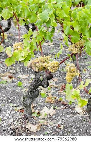 white grape in vineyard, Sauternes Region, Aquitaine, France - stock photo