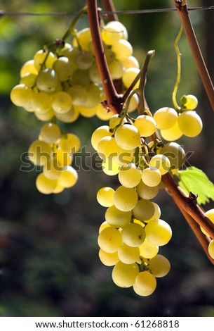White grape on a branch - stock photo
