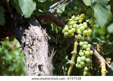 white grape on the vine - stock photo