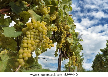 white grape on the vine (South Styria) - stock photo