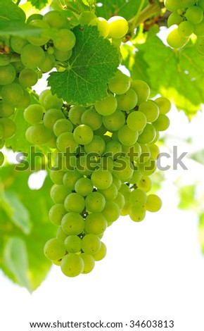 white grapes - stock photo