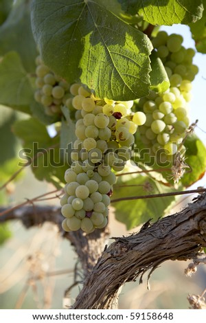 White grapes from Penedes - stock photo