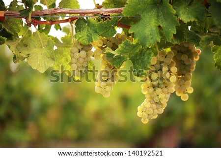 White grapes hanging from lush green vine with blurred vineyard background - stock photo