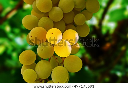 white grapes in the shadow on the background of the vine
