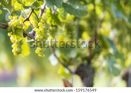 White Grapes in the Vineyard By Harvest Time