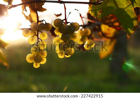 white grapes lit by the sun - stock photo