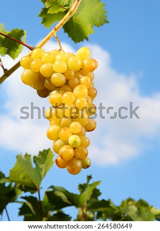 White grapes on a background of the sky. - stock photo