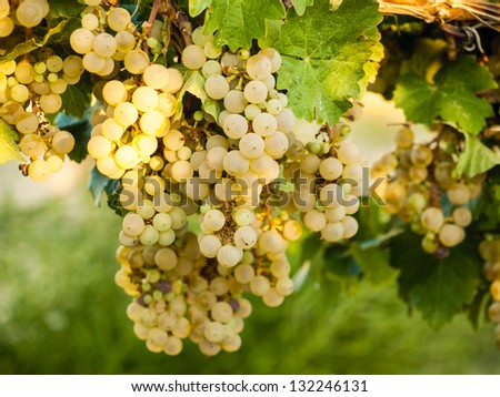White grapes ready to be harvested. - stock photo