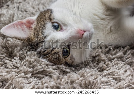 White gray cat with big eyes resting on the carpet at home - stock photo