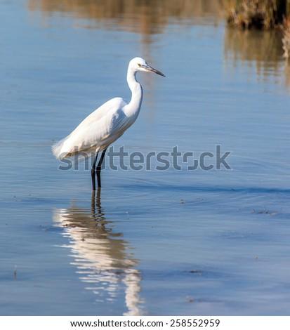 White Great Egret - stock photo