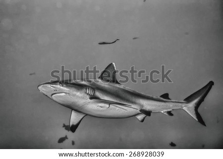 White grey shark jaws close up portrait  in black and white - stock photo
