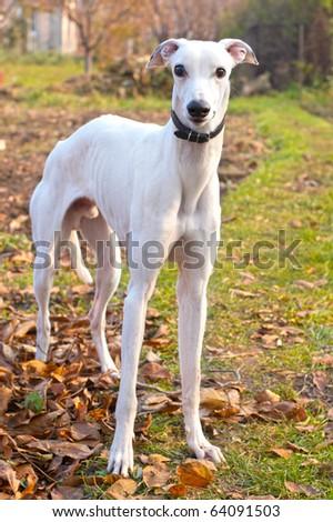 White greyhound in autumn park - stock photo