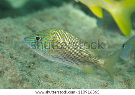 White grunt fish hovering on a reef.