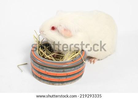 White guinea pig eating hay, White Rat, Laboratory animals. - stock photo