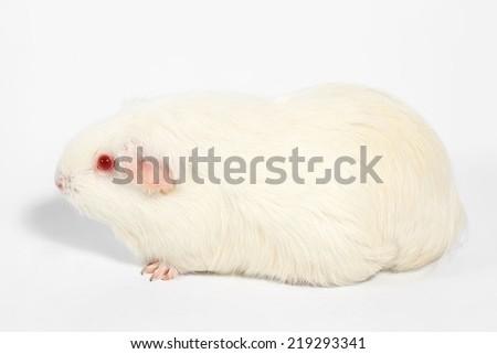 White guinea pig, White Rat, Laboratory animals. - stock photo