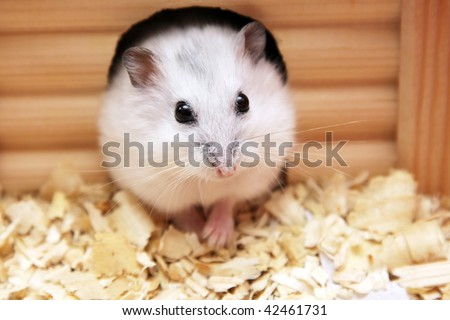 white hamster sitting in a wooden house