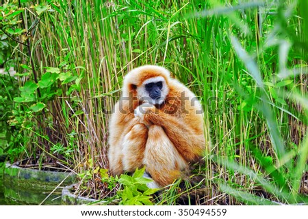 White-Handed Gibbon  monkey in its natural habitat of the wild. - stock photo