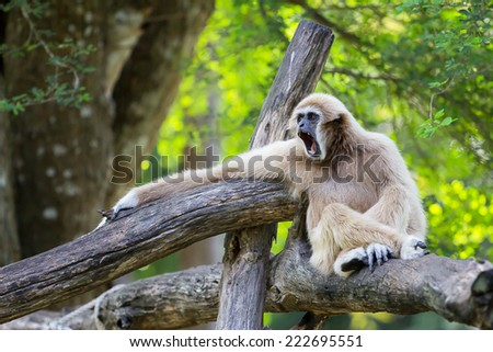 White-Handed Gibbon  opening the mouth in  zoo - stock photo