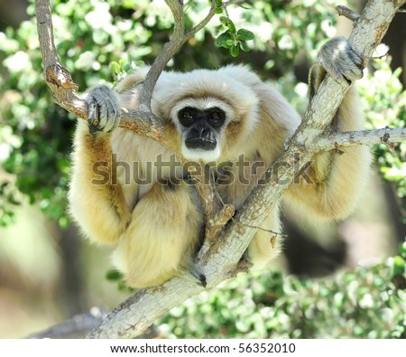 white handed Gibbon or Lar Gibbon in tree looking at camera, thailand, south east asia, white monkey - stock photo