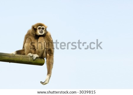 White-Handed Gibbon Sitting Down on a log against blue sky - stock photo