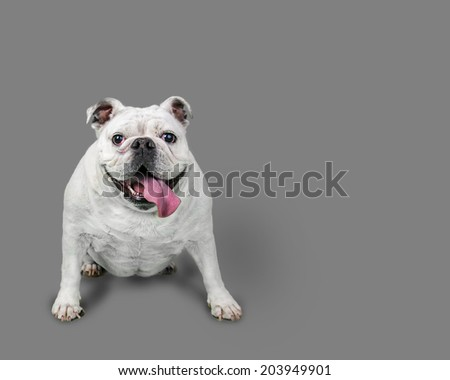 White Happy Bulldog Isolated on Gray