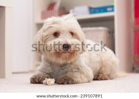 White havanese dog lying on the floor chewing a white bone