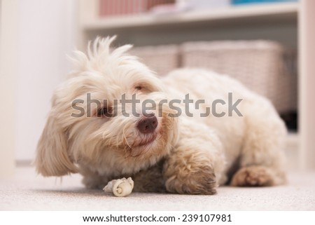 White havanese dog lying on the floor chewing a white bone - stock photo