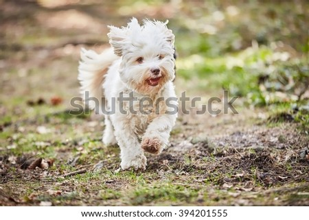 White havanese dog running and jumping in the forest in spring
