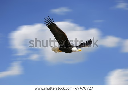 White head eagle flying. Fast bird over the sky - stock photo