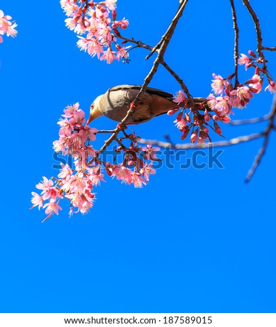 White-headed Bulbul bird (Hypsipetes thompsoni)  on twig of sakura background blue sky - stock photo