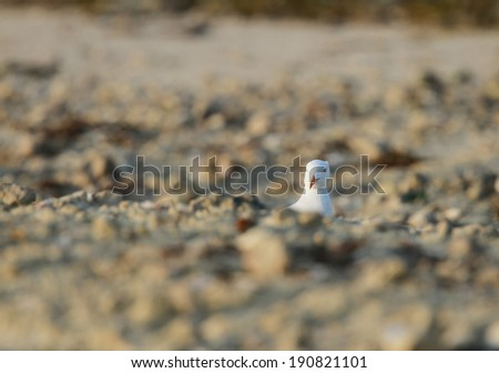 White headed seagull peeping from the sand heap - stock photo