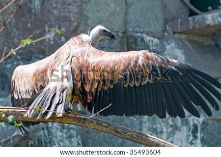 white-headed vulture - stock photo