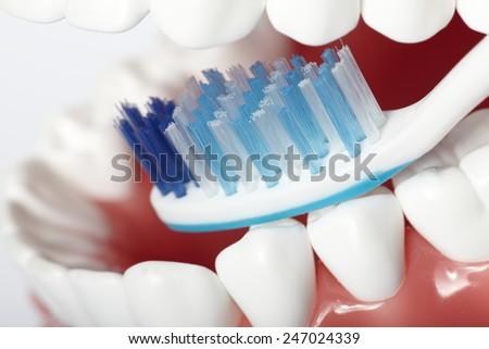 White healthy perfect teeth plastic model. Dental health. - stock photo