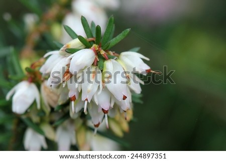 White heather - Erica - stock photo