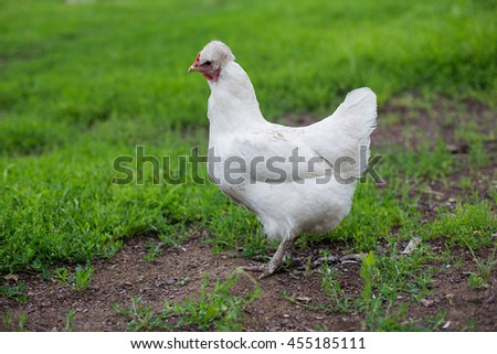 White hen on the green grass in village