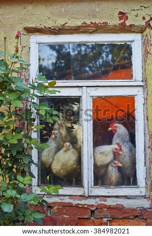 White hen peeking from the window house with cracked walls and red brick