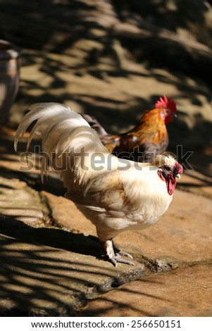 White hen to the rooster photographed closeup - stock photo