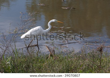 White heron bird on a lake