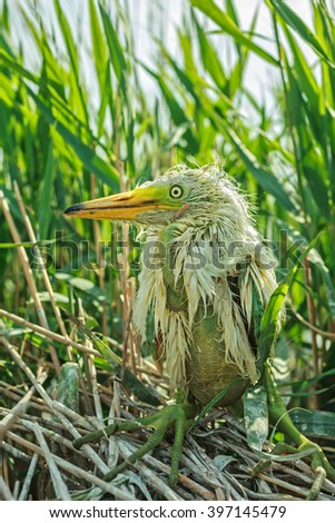 White heron chick sitting in the nest, closeup - stock photo