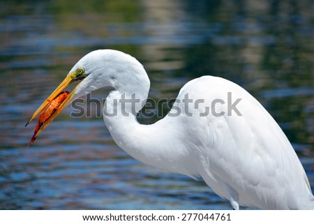 White heron eating koi fish. The great egret (Ardea alba), also known as the common egret, large egret or (in the Old World) great white heron is a large, widely distributed egret - stock photo