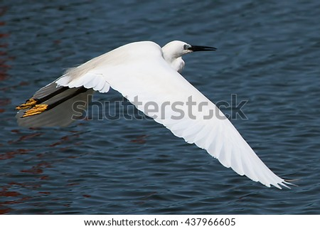 White heron flying over the blue river