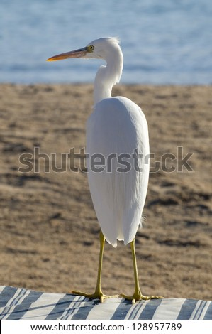 White heron (Great Egret (Ardea alba)) sits on the lounge. Bird is situated against the sea-shore background. - stock photo