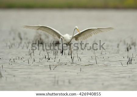 White Heron in fly (Ardea alba) - stock photo