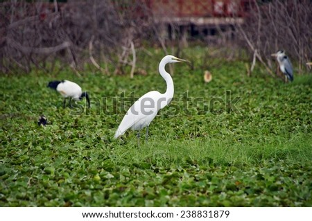 White heron on green leaves on the water in Lake Naivasha, Kenya - stock photo