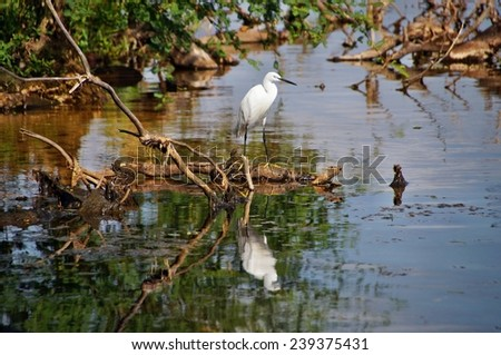 White heron reflected in the water of Lake Victoria in Bugala Island, Ssese Islands, Uganda