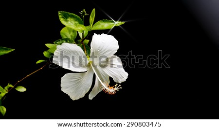 White hibiscus flowers on a black background. - stock photo