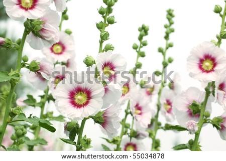 White hollyhock flower isolated on white - stock photo